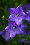 BALLOON FLOWER_7053.jpg