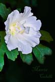 ROSE OF SHARON_0685.jpg