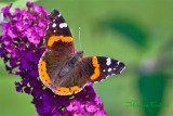 RED ADMIRAL BUTTERFLY_6158.jpg