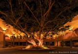 Old Tree, Aztec Center, SDSU