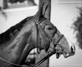 Racehorse in Paddock