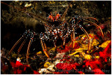 Spotted spiny lobster.