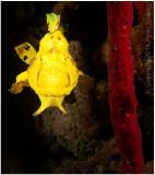 Swimming frogfish.
