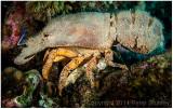 Spanish lobster (slipper lobster).