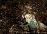 Mantis shrimp (with attitude).