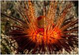 Fire urchin.