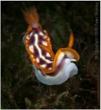 Hypselodoris purpureomaculosa (nudibranch).