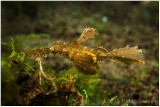 Robust ghost pipefish.