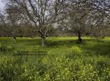 1511_P3210232_orchards-Colusa.jpg