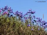 Summer Bloom, Harebell