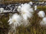 Arctic cotton swaying in the wind