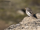 One of the very few songbirds that we saw in East Greenland