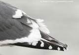 Japan's gulls