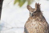 Japan's owls