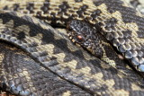UK reptiles & amphibians