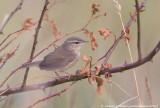 Dusky Warbler