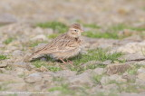 Larks & wagtails
