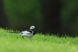 Black-backed white wagtail