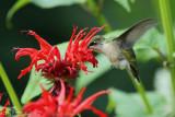 Ruby-throated hummngbird