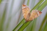 Eulithis testata - Oranje Agaatspanner.JPG