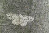 Ectropis crepuscularia - Gewone Spikkelspanner 5.JPG