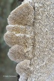 Coriolopsis trogii - Bleke Borstelkurkzwam 4.JPG