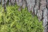 Kindbergia prolonga - Fijn Laddermos.JPG