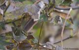 Palla's Leaf Warbler