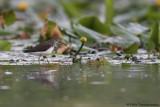 Green Sandpiper
