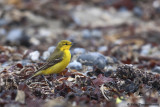 Yellow-crowned Wagtail