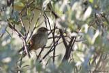 Lanceloated Warbler