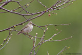 Willow Warbler ssp. acredula