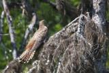 Oriental Cuckoo brown female
