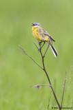 Yellow Wagtail ssp. beema
