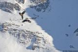 Lammergeier/Golden Eagle