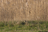 Pine Bunting accompanied by Stonechat.