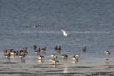 Little Egret passing by Black Brants, Shelducks and Pintails.