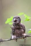 Boreal Owl Chick