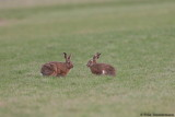 Hares chatting ;)