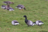 Further west, up to 26 wintering lesser-white fronted Geese where reported from Camperduin..