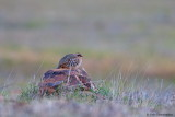 Red-legged Patridge