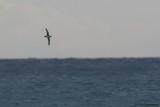Balearic Sherwater