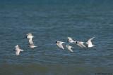 Migrating Mediterranean Gulls.