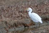 Cattl Egret