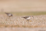 2 Buff-breasted Sandpipers