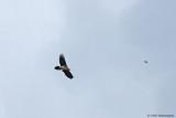 Last bird of the trip, Lammergeier!