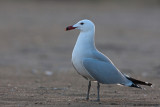 Audoin's Gull