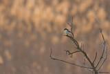 Woodchat Shrike ssp. badius