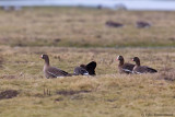 Lesser White-fronted Geese