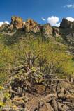 Chiricahua Cactus (Chiricahua Mountains)